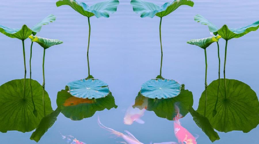 济南网站建设公司最新公告:最贵的鱼,一条锦鲤价值1200多万!